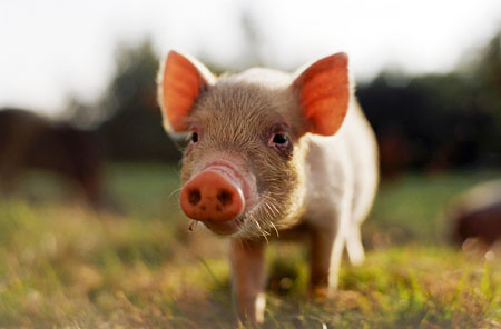 Pig bladder dust helps regrow limbs of wounded soldiers - Maiale sul divano ...