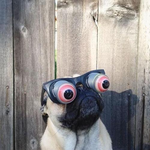 crazy-eye-pug